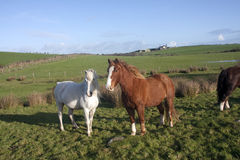 Wild Welsh Ponies Royalty Free Stock Image