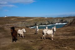 Wild welsh ponies Stock Images