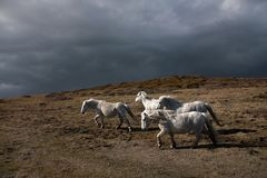 Wild welsh ponies Stock Image