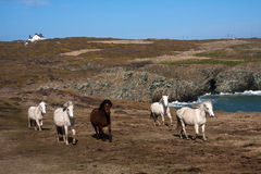 Wild welsh ponies Royalty Free Stock Photography