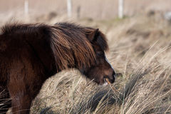 Wild Welsh Ponies Stock Photography