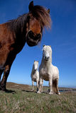 Wild Welsh Ponies Stock Photos