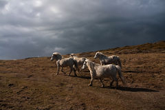 Wild welsh ponies Stock Photo