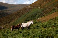Wild Welsh Ponies Stock Photography