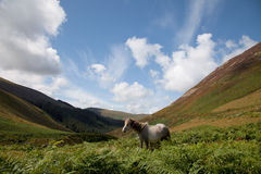 Wild Welsh Ponies Royalty Free Stock Photo