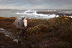 Wild Welsh Ponies. At the Breakwater park with rough seas breaking on the harbour walls behind Royalty Free Stock Image