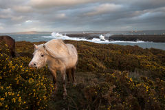 Wild Welsh Ponies. At the Breakwater park with rough seas breaking on the harbour walls behind Royalty Free Stock Images
