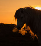 Wild Welsh Ponies breath Royalty Free Stock Photos