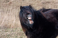 Wild Welsh Pony Royalty Free Stock Photos