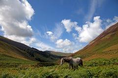 Wild Welsh Pony Royalty Free Stock Photography