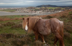Wild Welsh Pony Royalty Free Stock Photo