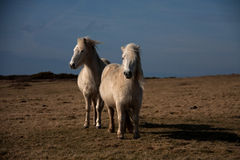 Wild Welsh Pony. Wild Welsh Ponies on the Isle of Anglesey Coastal path North Wales UK Royalty Free Stock Image