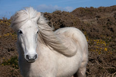 Wild Welsh Pony. Wild Welsh Ponies on the Isle of Anglesey Coastal path North Wales UK Stock Photos