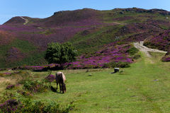 Wild Welsh Pony Royalty Free Stock Images