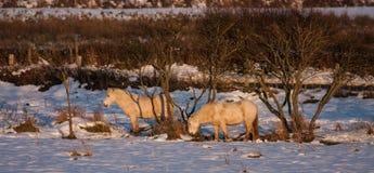 Wild Welsh Pony Stock Image