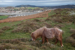 Wild Welsh Pony on Conwy Mountain Stock Image
