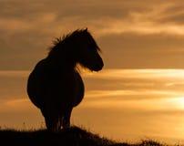 Wild Welsh Pony's Royalty Free Stock Image