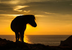 Wild Welsh Pony sunset Stock Images