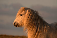 Wild Welsh Ponys. On a very cold frosty morning on the Isle of Anglesey Stock Image