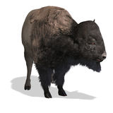 Wild West Bison Stock Photos