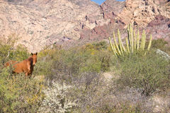 Wild West Mustang. A wild horse stops for water at a desert pool with mountains and cactus in the background royalty free stock photo