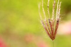 Wild wheat plant wallpaper Stock Photos
