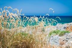 Wild wheat on the sea coast. Crete island, Greece. Small depth of field Royalty Free Stock Images