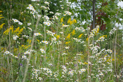 Wild White Aster Flowers and Goldenrods. Blooming bunches wildflowers in Ontario, Canada. Small flowered white aster flowers and goldenrods in meadow. Autumn Stock Images