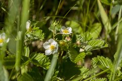 Wild rasp strawberries flower with green leaves. Wild white beautiful rasp  strawberries flower with green leaves Stock Image