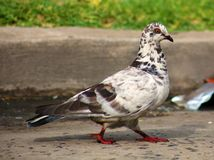 Wild white black spotted pigeon in the streets of Buenos Aires Stock Photo