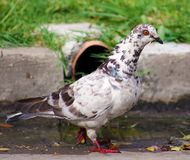 Wild white black spotted pigeon in the streets of Buenos Aires Stock Images
