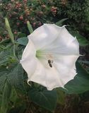 Wild white calla and bee Stock Image