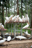 Wild white cockatoos sitting on a picnic table Stock Images