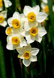 Wild White Daffodils Stock Images