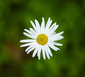 Wild white daisies Stock Photos