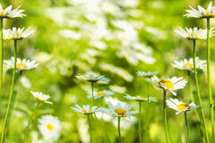 Wild with white daisies in summer park. Royalty Free Stock Images