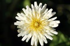 Wild white dandelion flower on black background stock photography