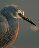 Wild White Faced Heron in Australia Stock Images