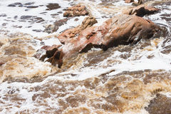Wild white flooded river  running rough around boulders Royalty Free Stock Photos