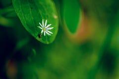 Wild white flower on the green leaf. Stock Photos