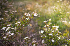 Wild white flowers Royalty Free Stock Images