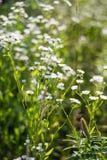 Wild white flowers Stock Image