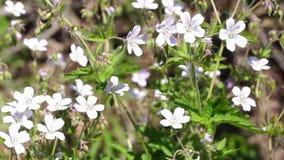 Wild white flowers stock video