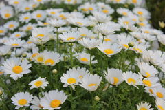 Wild White flowers. Daisy Flowers on the Meadow, Shallow DOF Royalty Free Stock Images