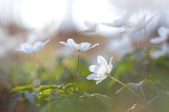 Wild white flowers in forest meadow Royalty Free Stock Photo