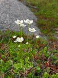 Wild white flowers among green moss Royalty Free Stock Image