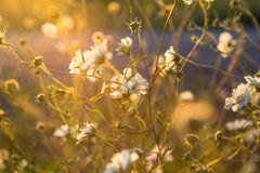 Wild  white flowers in sun meadow. Royalty Free Stock Photography