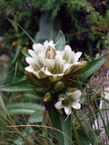 Wild white Gentiana frigida in the Annapurna Himalayas Stock Image