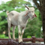 Wild white goat Stock Photos
