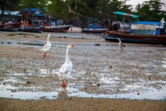 Wild goose on the sea in Thailand. royalty free stock photography